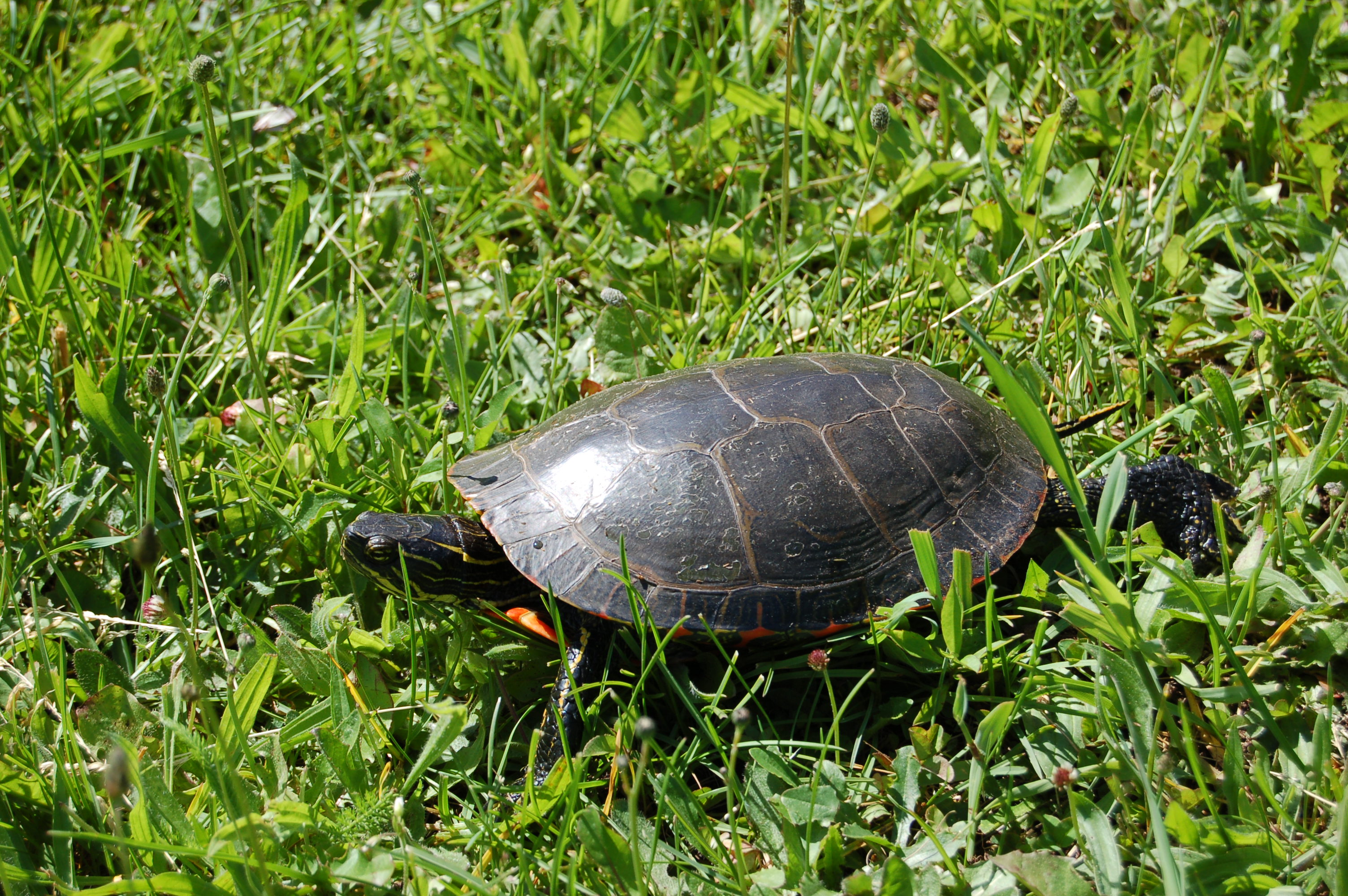 Hanka Homestead Painted Turtle
