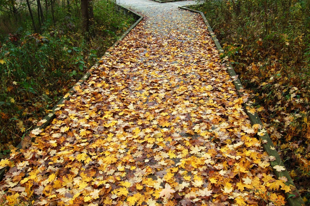 Fall Color Michigan Boardwalk Kal Haven