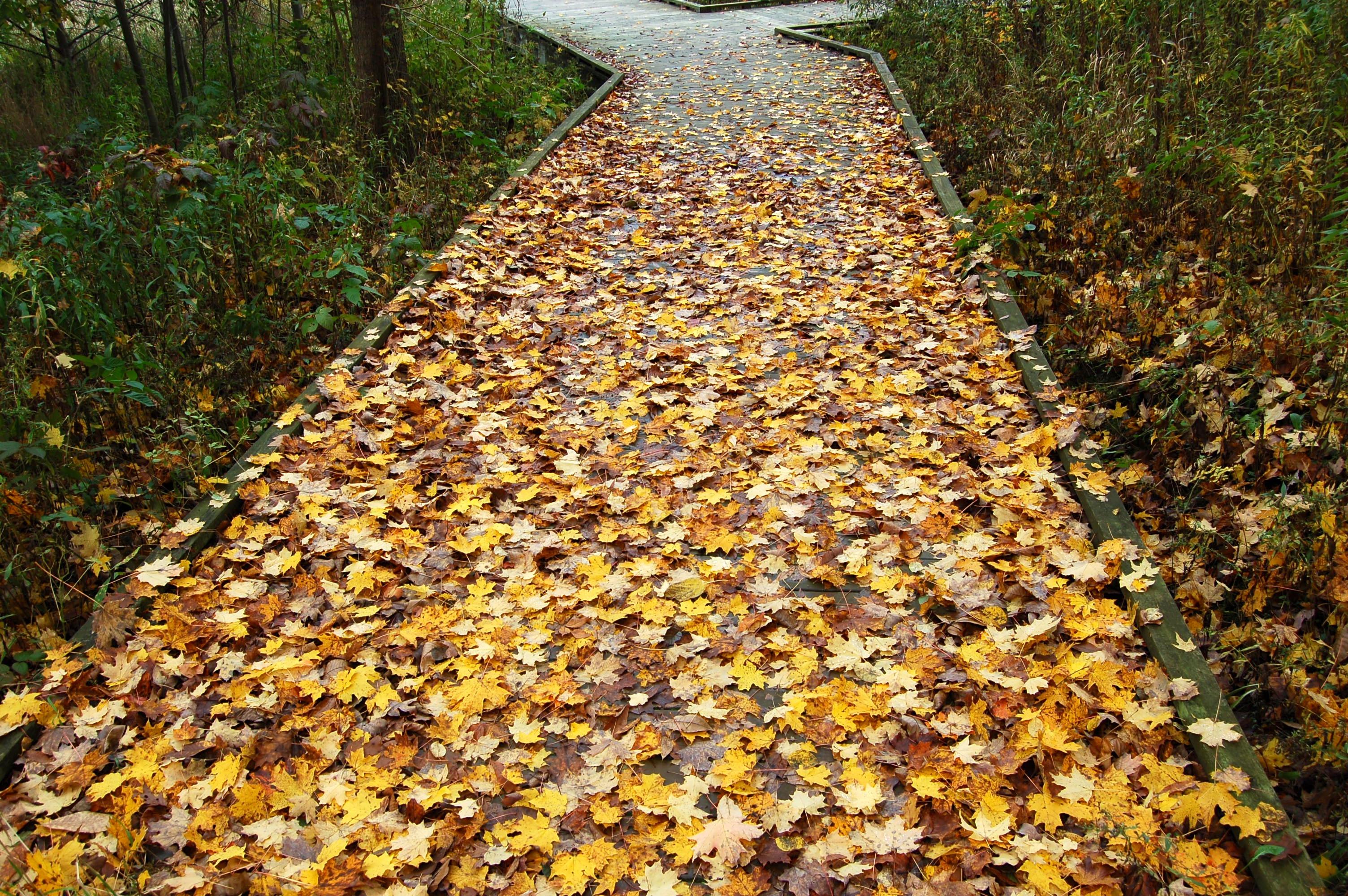 Kal Haven Trail Boardwalk Leaves