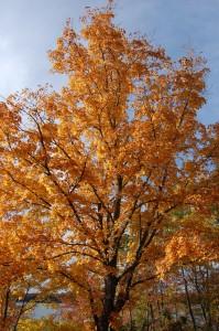 Michigan Fall Maple Tree