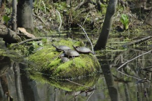 Pigeon Creek Park Turtles