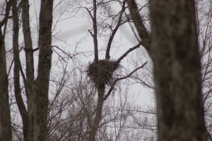 Grand Ravines Park Bald Eagle Nest