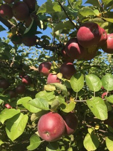 Knaebe's Mmmunchy Krunchy Apple Farm Autumn
