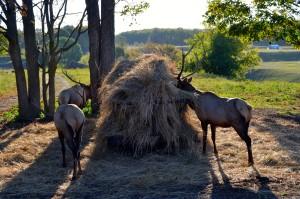 Gaylord Elk Viewing Park Wildlife