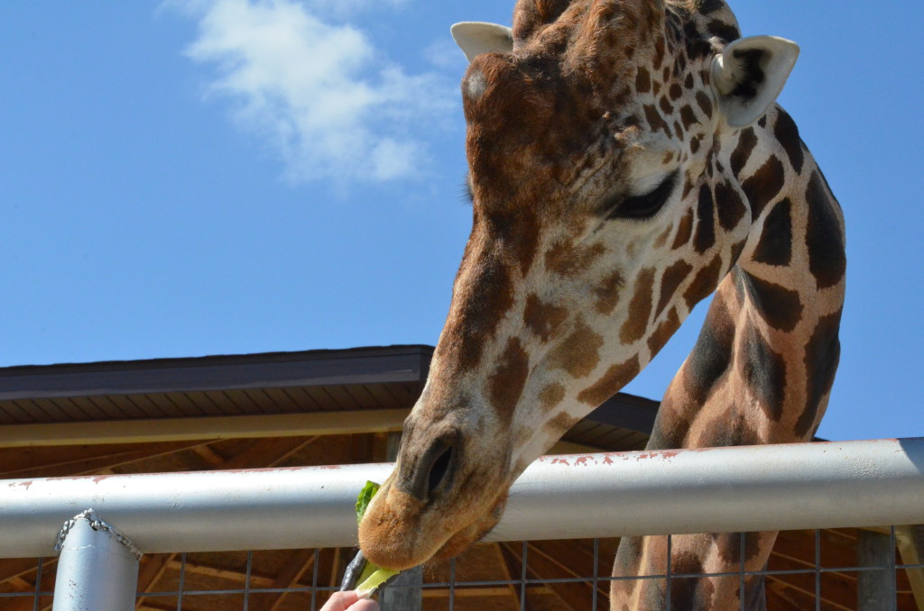 A giraffe at Boulder Ridge Wild Animal Park in Alto