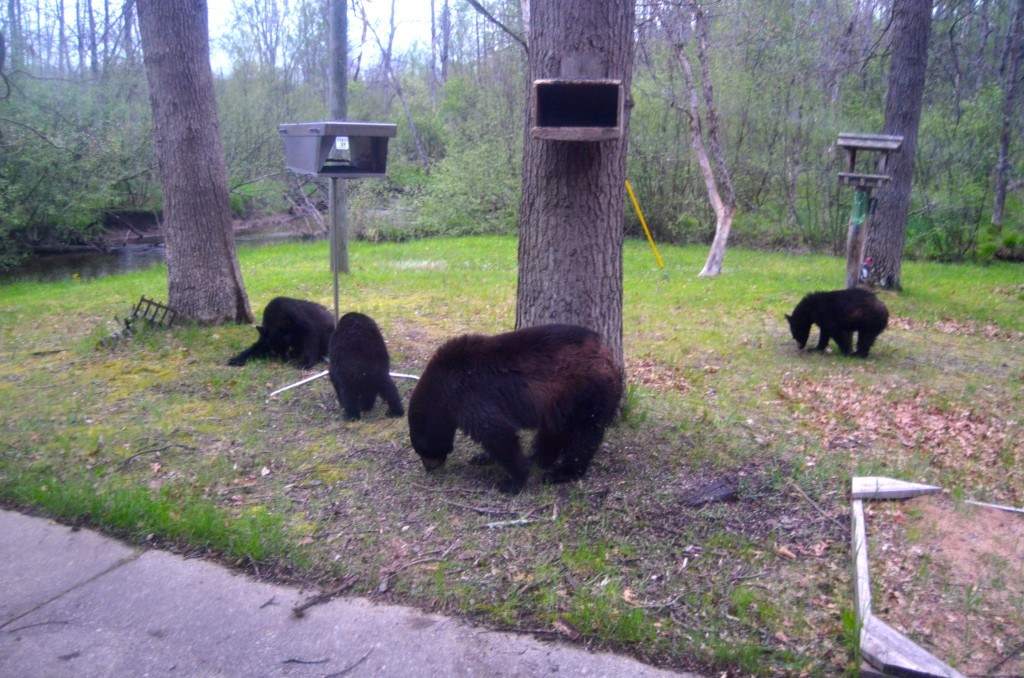 A family of hungry black bears visited our friend's cabin near Baldwin in May