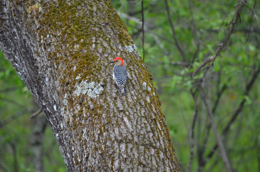 Red Bellied Woodpecker near Baldwin