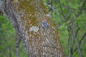 Michigan Woodpecker