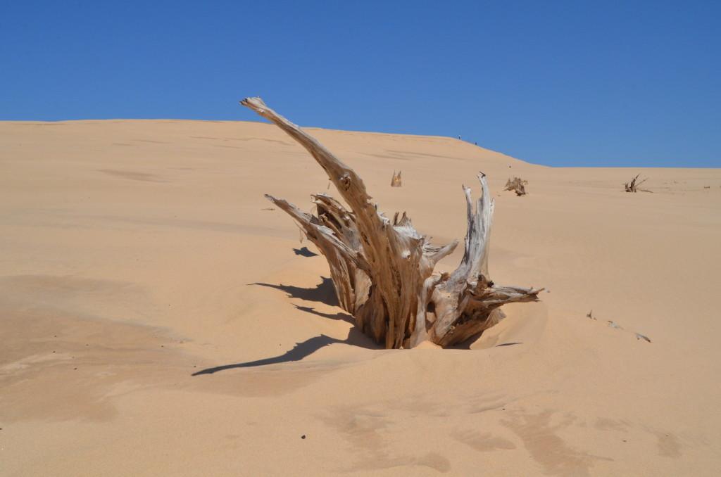 Silver Lake State Park Dunes Tree Stump