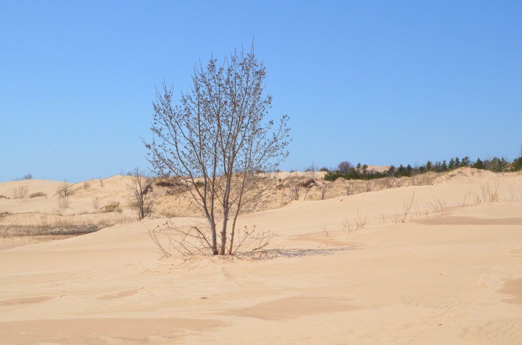 Silver Lake State Park Dunes Trees Michigan