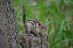 Port Crescent State Park Chipmunk Michigan