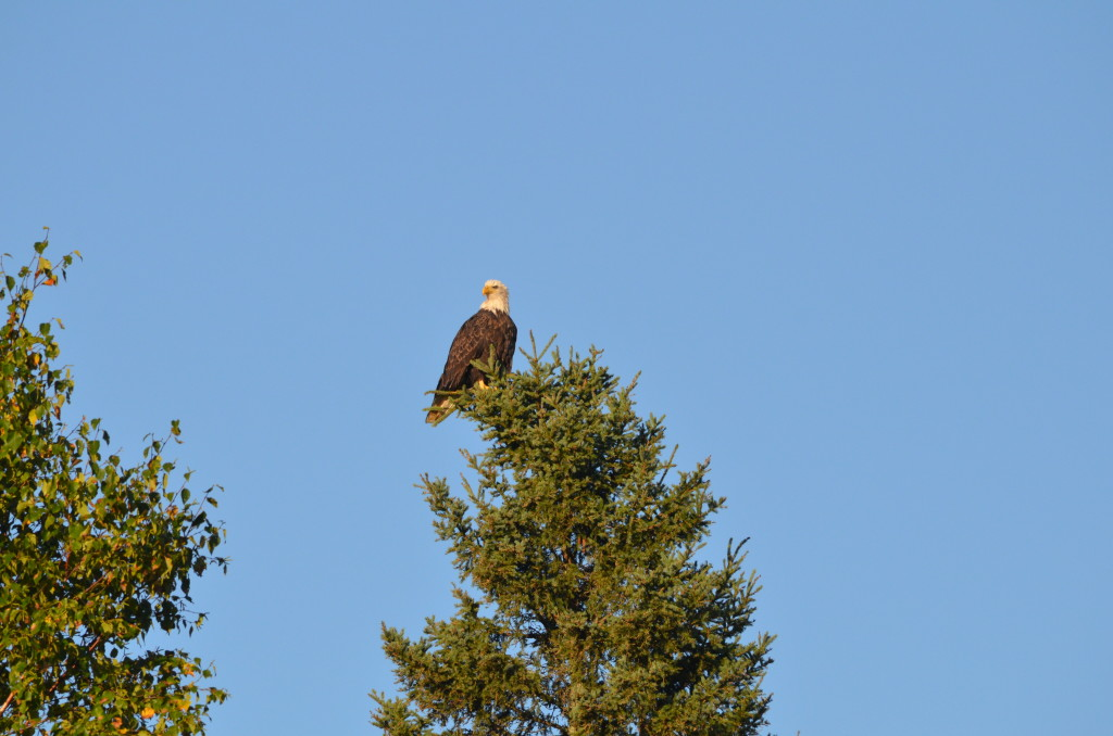Bald Eagle in the Upper Peninsula