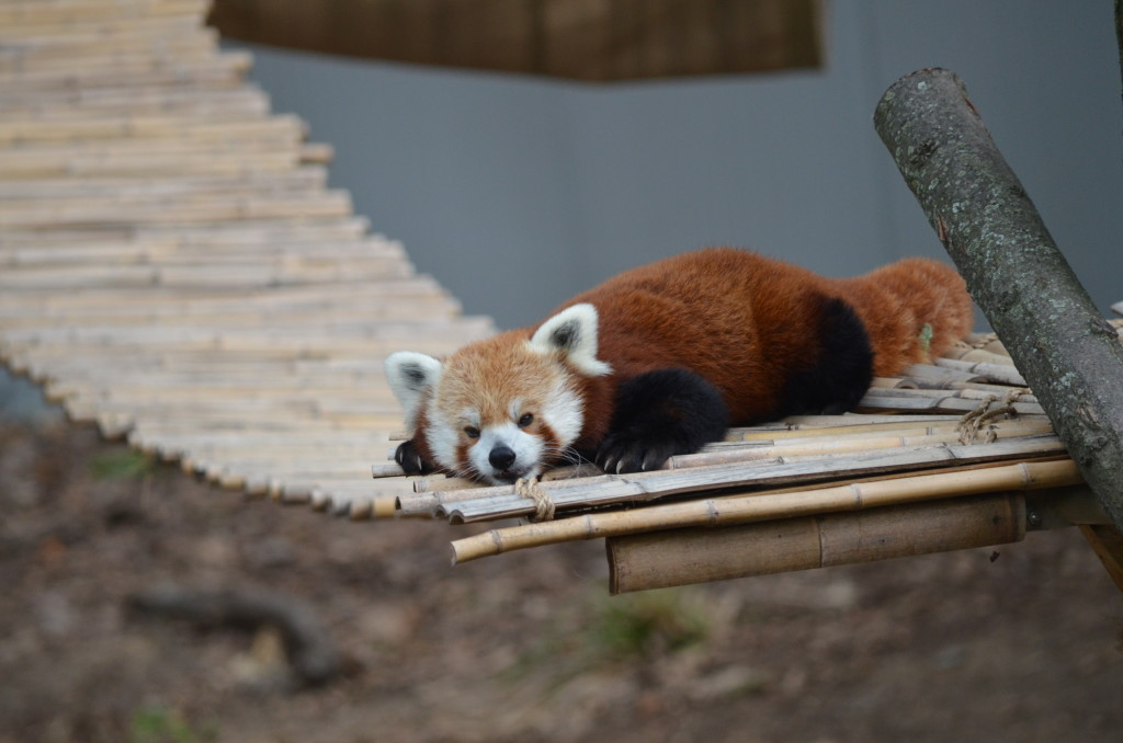 Wyatt the Red Panda at John Ball Zoo