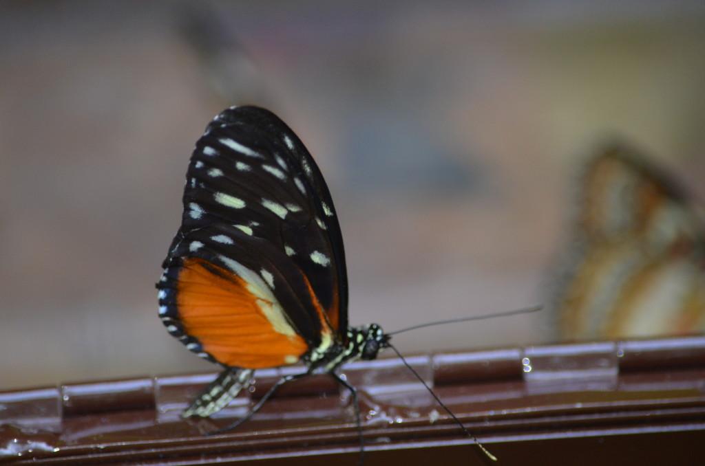 Butterflies Are Blooming Frederik Meijer Gardens 2019 F