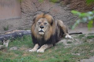 John Ball Zoo Rock Roar & Pour Lion