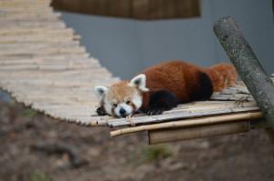 John Ball Zoo Rock Roar & Pour Wyatt Red Panda