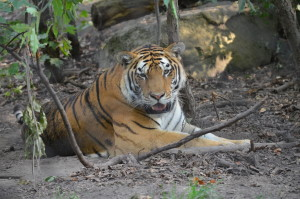 John Ball Zoo rock Roar & Pour Tiger