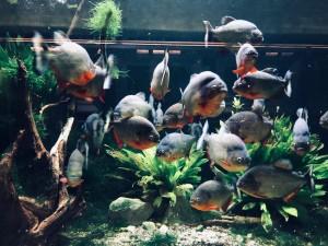Belle Isle Aquarium Piranha Tank