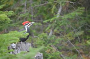 Drummond Island Birdwatching Pileated Woodpecker