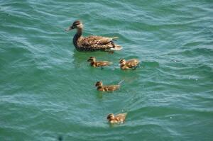 Presque Isle Park Marquette Duck Family