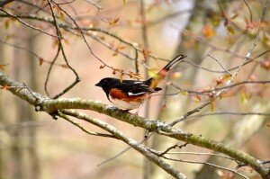 Wege Foundation Natural Area Lowell Spotted Towhee Birdwatching