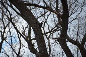 Wege Foundation natural Area Pileated Woodpecker Lowell MI