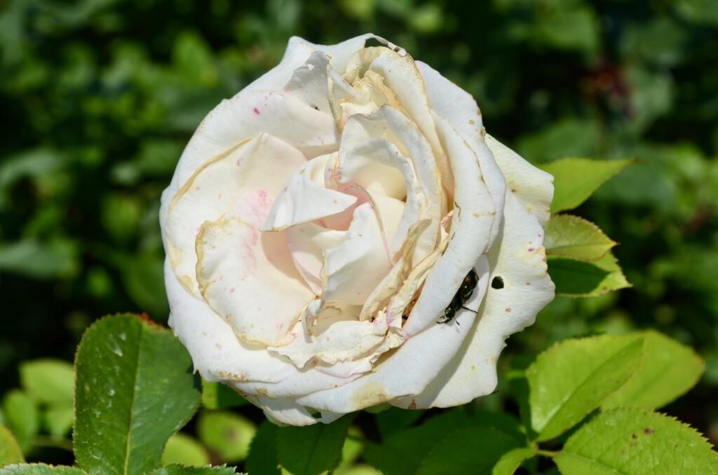 Dow Gardens Midland Michigan White Rose Close Up