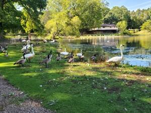 Kellogg Bird Sanctuary Augusta Michigan Geese Swans