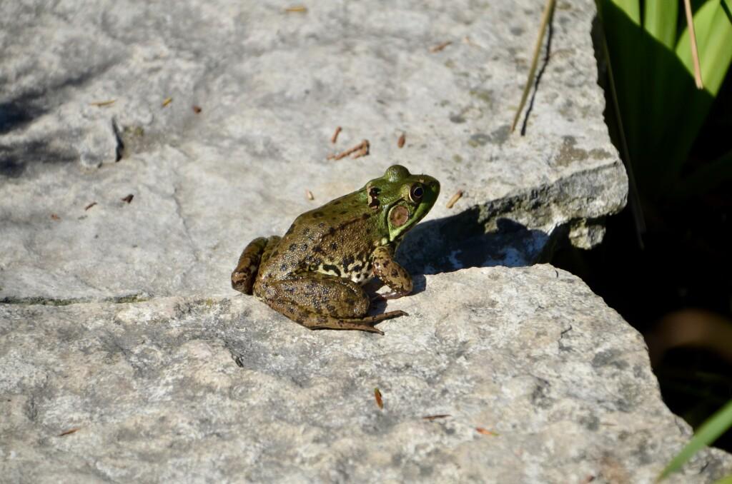 Kellogg Bird Sanctuary Frog Pond