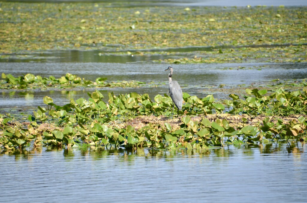 Kellogg Bird Sanctuary Great Blue Heron Wintergreen Lake