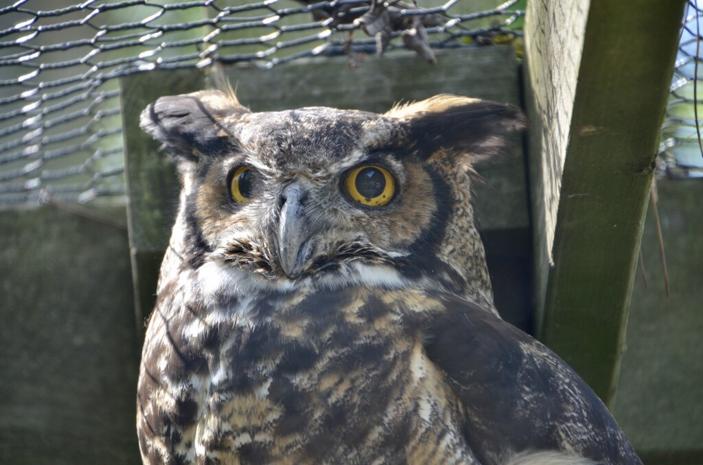 Kellogg Bird Sanctuary Great Horned Owl