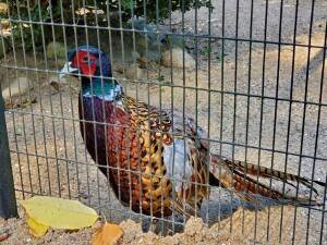 Kellogg Bird Sanctuary Pheasant Augusta Michigan