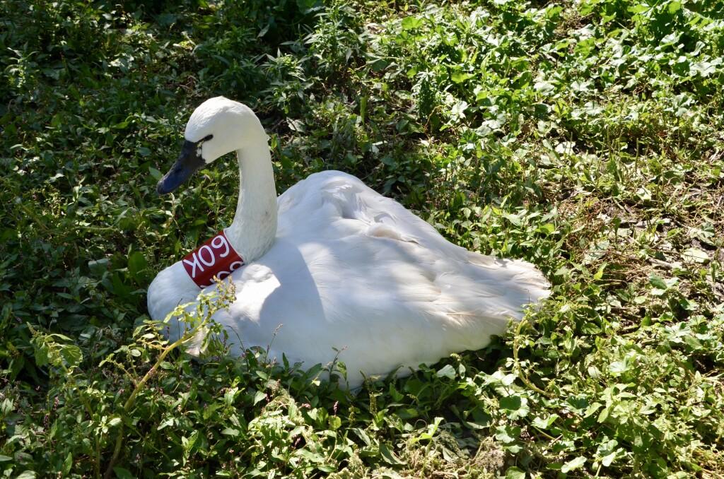 Kellogg Bird Sanctuary Swan