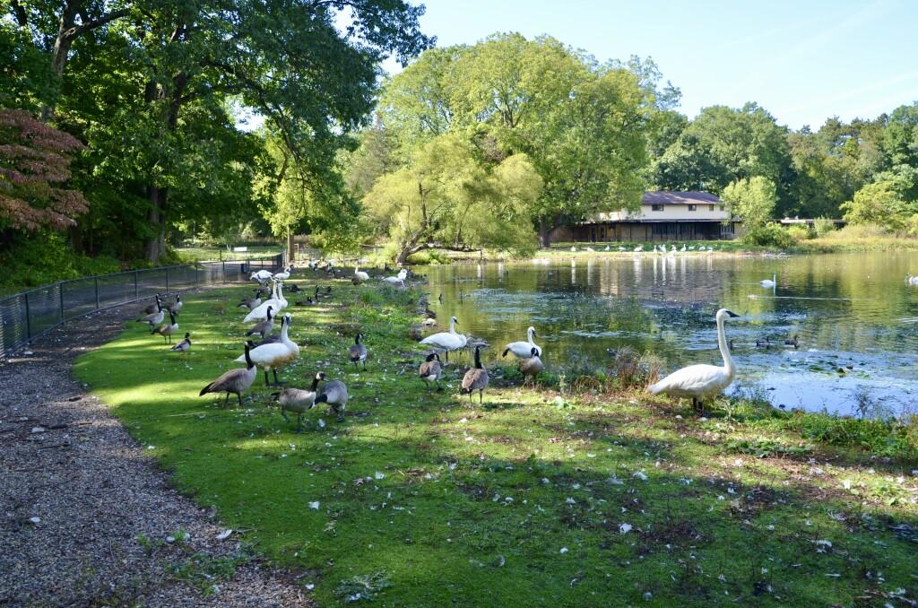 Kellogg Bird Sanctuary Swans Geese Feeding Area