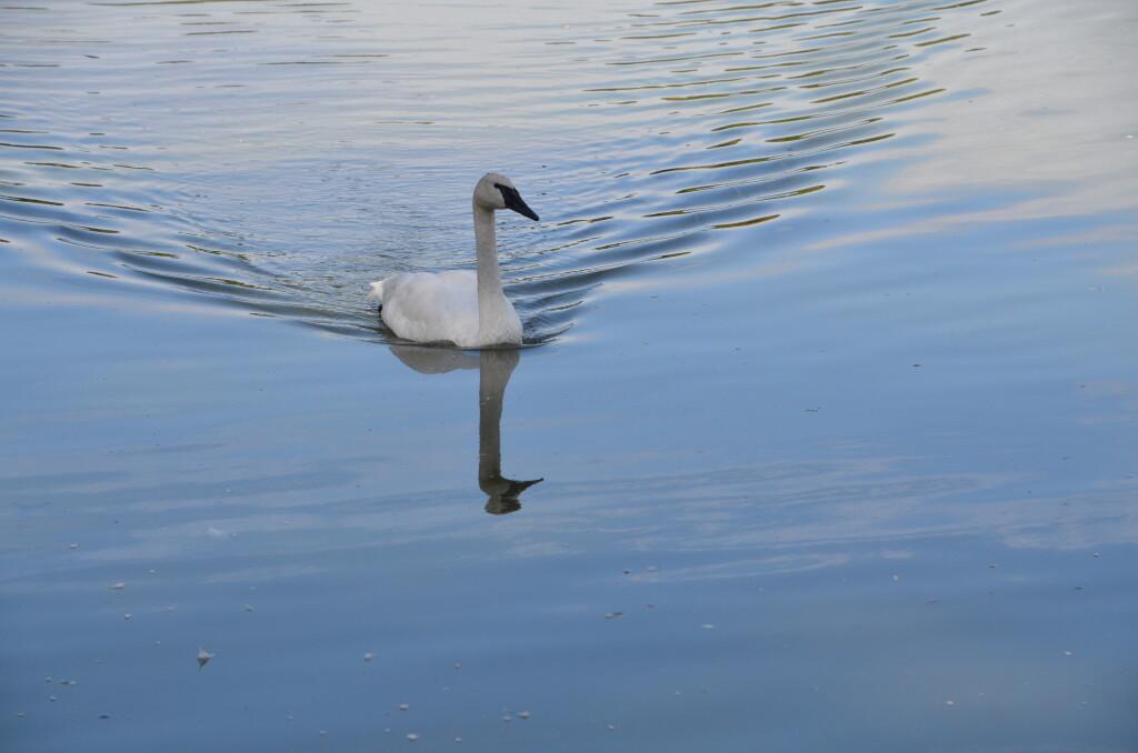 Kellogg Bird Sanctuary Trumpeter Swan Gliding on Lake