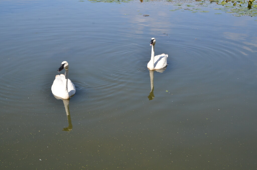 Kellogg Bird Sanctuary Trumpeter Swan Pair