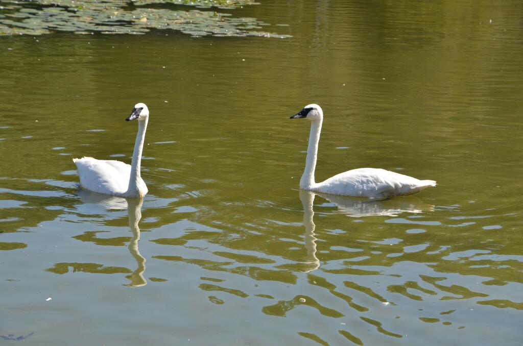 Kellogg Bird Sanctuary Trumpeter Swans